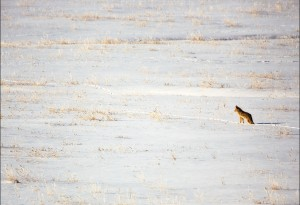 This coyote is trying to sense any rodent activity under the snow. He tipped his head forward and then sideway trying to pinpoint the exact location.